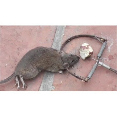 Bẫy chuột bán nguyệt